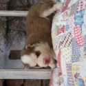 Clementine - a Siberian Husky puppy