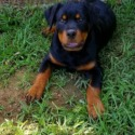 Red - a Rottweiler puppy