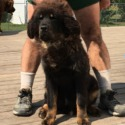 Tonka and goliath boy 2 - a Tibetan Mastiff puppy