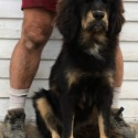 Athena and Beowulf girl 3 - a Tibetan Mastiff puppy