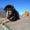 China - a Tibetan Mastiff puppy