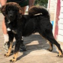 Karma & Goliath Girl 2 - a Tibetan Mastiff puppy