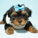 Adorable Yorkie puppy available now in Los Angeles - a Yorkshire Terrier puppy