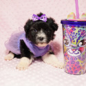 Kendle Jenner - Yorkie Poo Avalable Now in LA - a Yorkshire Terrier puppy