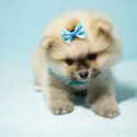King Charles - a Pomeranian puppy