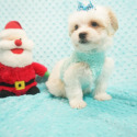 Robert Wisdom - Toy Morkie Puppy In Los Angeles - a Maltese puppy