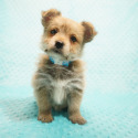 Marc Walberg - Teacup Porkie Puppy In Los Angeles - a Poodle puppy