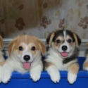 Perfect Welsh Corgie Puppies owned by Perfect Welsh Corgie Puppies