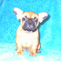 Dorthy - a French Bulldog puppy