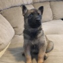 German Malinois - a German Shepherd Dog puppy