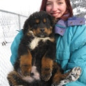 Kona Boys 1-4 - a Tibetan Mastiff puppy