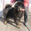 Male Yearlings - a Tibetan Mastiff puppy