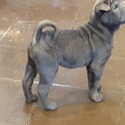 Shar Pei for sale