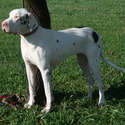 Male and Female Available - a Great Dane puppy