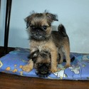 Antique Hero - a Brussels Griffon puppy