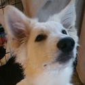 New Arrivals - a Berger Blanc Suisse puppy