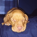 AKC Puppies For Sale - a Vizsla puppy