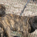 English Mastiff for sale
