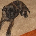 Rojo - a English Mastiff puppy