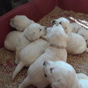 Lab babies - a Labrador Retriever puppy