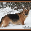 Tiltonhaus - a German Shepherd Dog puppy