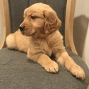 AKC Golden Retriever Puppies - a Golden Retriever puppy