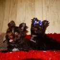 Aqua and Alfa - a Yorkshire Terrier puppy