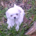 Shelby - a Maltese puppy