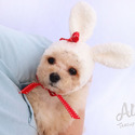 Micro Teacup Poodle Puppies For Sale [Cutie] - a Poodle puppy