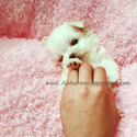Micro Teacup Maltese Puppies For Sale [Leo] - a Maltese puppy