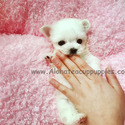 Pocket Teacup Maltese Puppies For Sale - Leo - a Maltese puppy