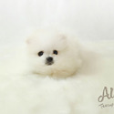 Teacup Pomeranian Puppies For Sale - Teddy - a Pomeranian puppy