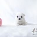 Teacup Maltese - Leo *Sales Promotion* - a Maltese puppy