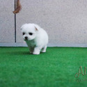 [Leo] Teacup Maltese Puppies For Sale - a Maltese puppy