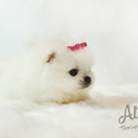 [Teddy] Teacup Pomeranian Puppies For Sale - a Pomeranian puppy