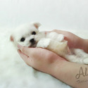 Micro Teacup Maltese for sale, Leo - a Maltese puppy