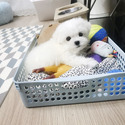 Mini Teacup Maltese Puppies for sale [Leo] - a Maltese puppy