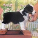 Mickey - SOLD - a Miniature American Shepherd puppy