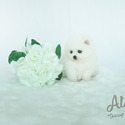 Teacup Pomeranian Puppies for sale [Marshmallow] - a Pomeranian puppy