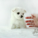 Teacup Toy Maltese for sale [Leo] - a Maltese puppy