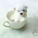 Teacup Toy Maltese for sale - Leo - a Maltese puppy