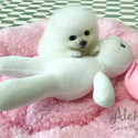 Teacup Toy Pomeranian for sale - Marshmallow - a Pomeranian puppy