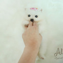 [Marshmallow] Teacup Toy Pomeranian for sale - a Pomeranian puppy