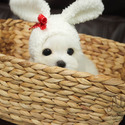 [Leo] Teacup Toy Maltese for sale - a Maltese puppy