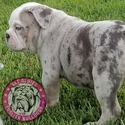 Jewel - a Old English Bulldog puppy
