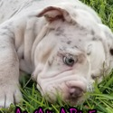 NaeNae - a Old English Bulldog puppy