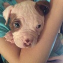 sweetface - a American Bulldog puppy