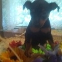 No Name Yet - a Miniature Pinscher puppy