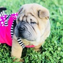 Elite - a Chinese Shar Pei puppy