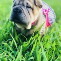 Chinese Shar Pei for sale